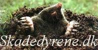Skadedyrene.dk - skadedyrsbekæmpelse: muldvarpe, mosegrise, mus, flagermus, husmår.