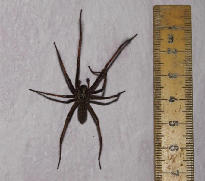 edderkop med mus