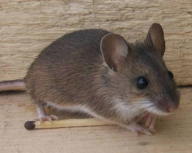 hus mus