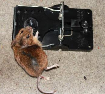 bekæmpelse af mus på loftet