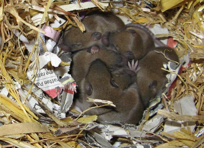 hvor mange unger få en hamster