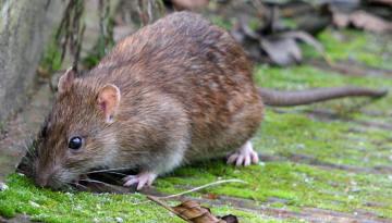 rotte eller halsbåndmus