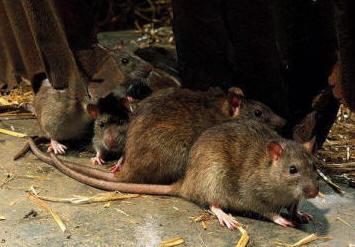 Bekæmpelse af rotter udendørs